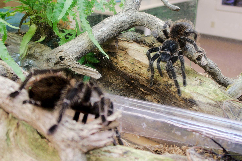 Bird-eating Tarantula