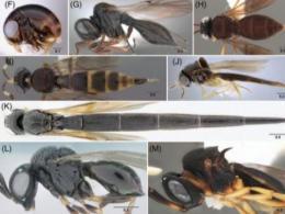 Fig. 8  Habitus images of exemplar taxa of the families Platygastridae, Proterosceliopsidae, Sparasionidae and Scelionidae