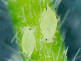 two aphids on plant stem, photo: S. Upperman
